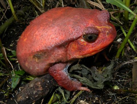 Tomato_Frog_(Dyscophus_antongilli),_Maroansetra,_Madagascar