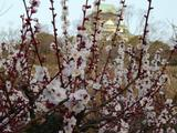 大阪城公園の梅(2月22日)