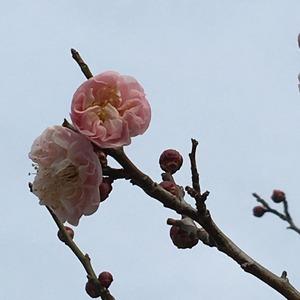 楊貴妃も咲き始めましたよ