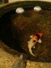 夏目石の中で泳ぐ鯉人形。