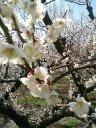梅の花が咲き乱れております