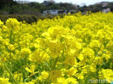 菜の花ア〜ップ