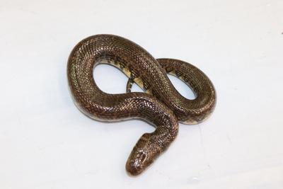 オオミズヘビ