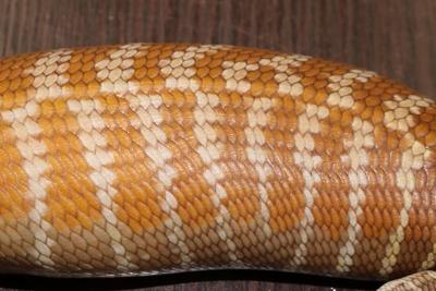チュウオウアオジタトカゲ2