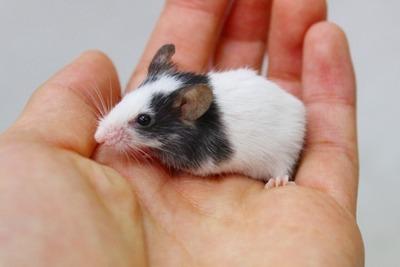 パンダマウス1