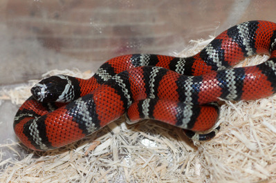 Identification Lampropeltis C7ce8cdf-s