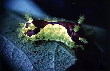 イラガの幼虫1