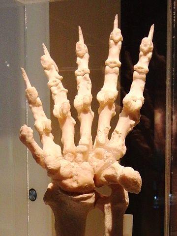 360px-Giant_panda_Left_hand_Bone_2