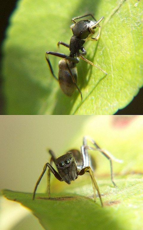 Myrmarachne_japonica1