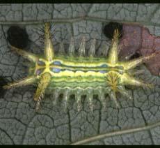 イラガの幼虫2