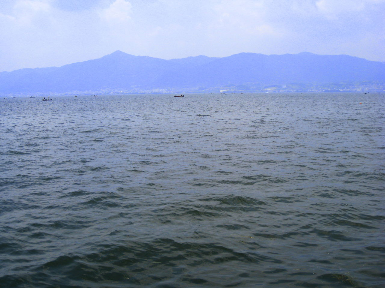 琵琶湖ハス群生(4)