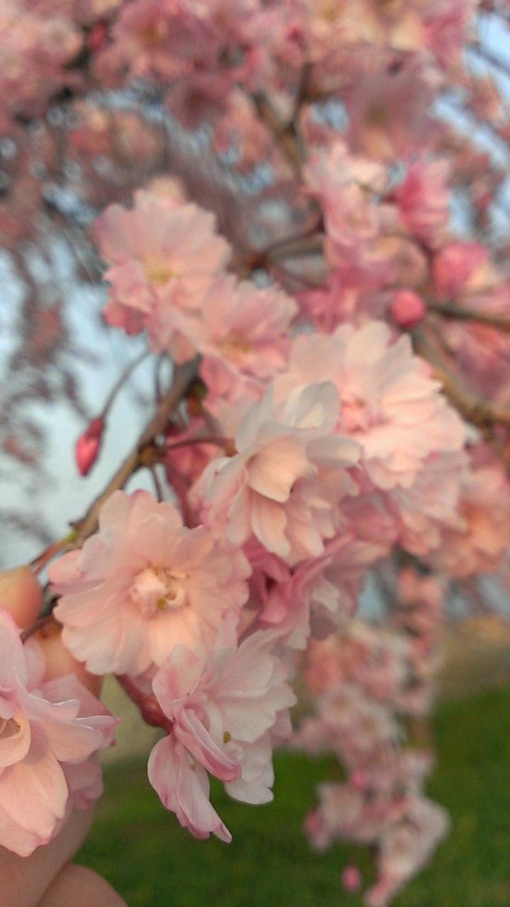 そろそろ桜も終わりだね