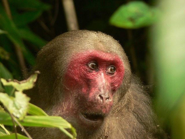 Stump_tailed_Macaque_P1130751_11