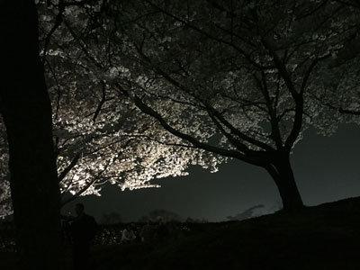 姫路 お花見 2017 姫路城 夜桜スポット