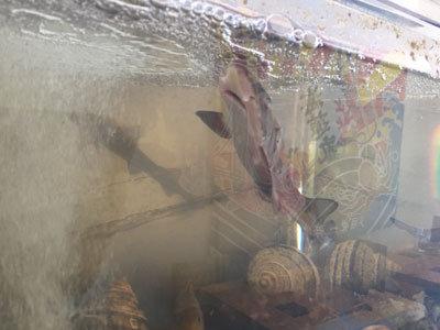 明石 漁師寿司 海蓮丸 鮫
