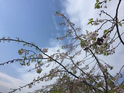 姫路城 葉桜