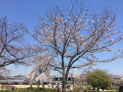 姫路城 花見 桜 開花