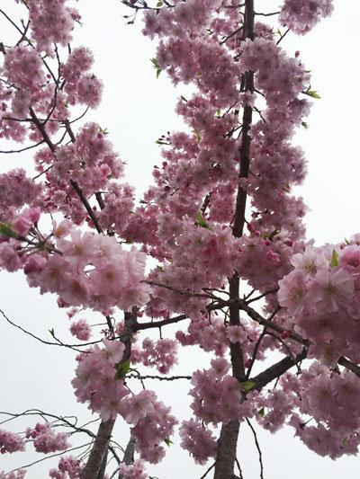 姫路 お花見 2017 姫路城 櫻