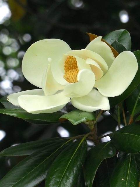 0704泰山木の花