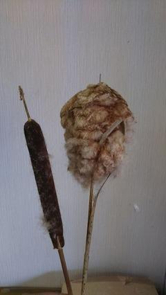 蒲の穂と穂絮