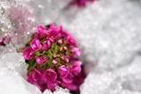 雪どけ,花