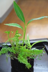 観葉植物 ハイドロカルチャー
