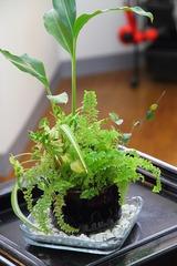 観葉植物 ハイドロカルチャー 植え替え