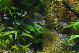 熱帯魚 グローライトテトラ