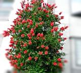 金宝樹,キンポウジュ,カリステモン,ブラシの木,ブラシノキ