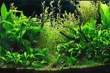 水草,アクアリウム,水槽
