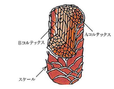 ウールの繊維構造