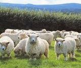 羊毛画像2