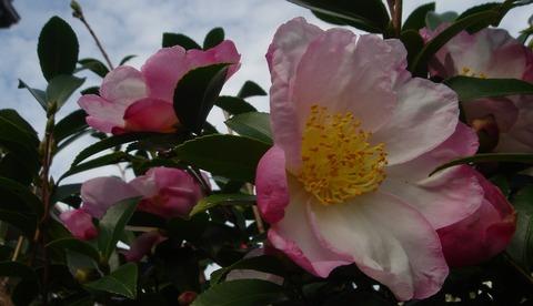山茶花の乱れて蕾見えに見ゆ201110