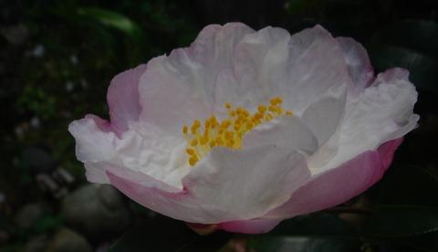 山茶花の薄日集める壺明かり201124
