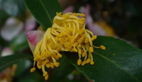山茶花の蕊肌艶の若さかな201124