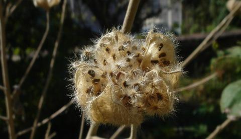芙蓉の実弾け種々風を待つ201117