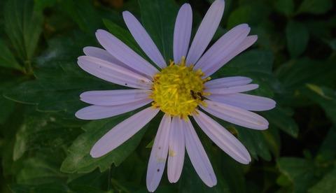定年年金聞き合う野菊の蟻二つ201117