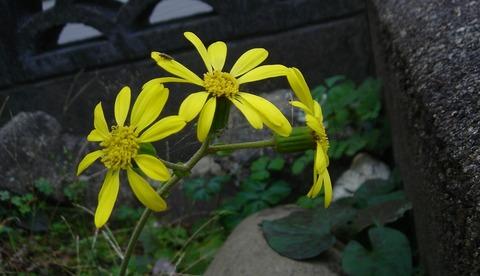狭庭には根こそぎなきや石蕗の花201117