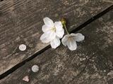 落ちている桜