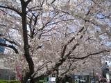 桜(駒込駅前その3)