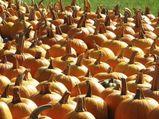 1153153_pumpkins