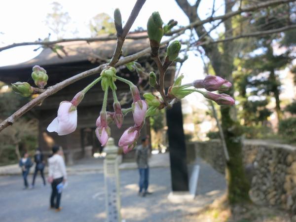 sakura_dango_get (14)