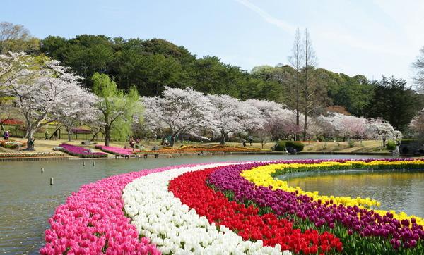 sakura_02_flower