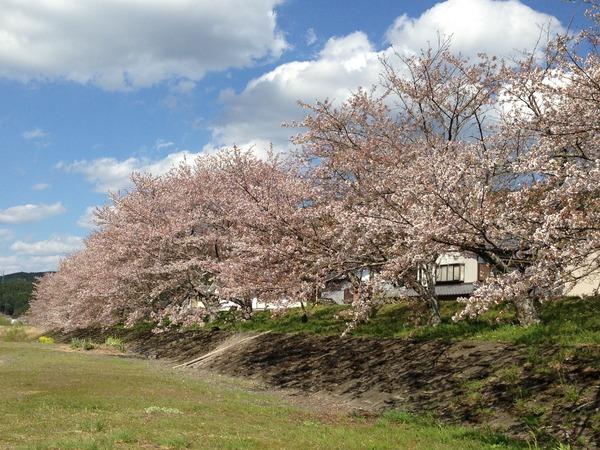 sakura_06_otagawa