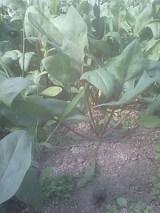 赤茎ほうれん草