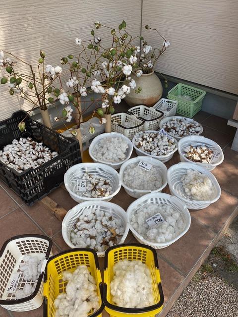 収穫した綿。ピークを迎えました➁ (2)