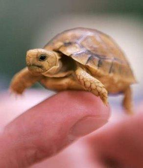 baby_turtle