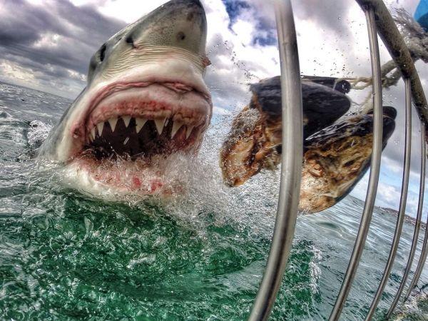 獲物を食らう鋭い歯のホホジロザメ