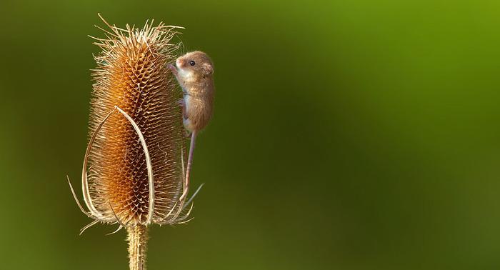 mice15