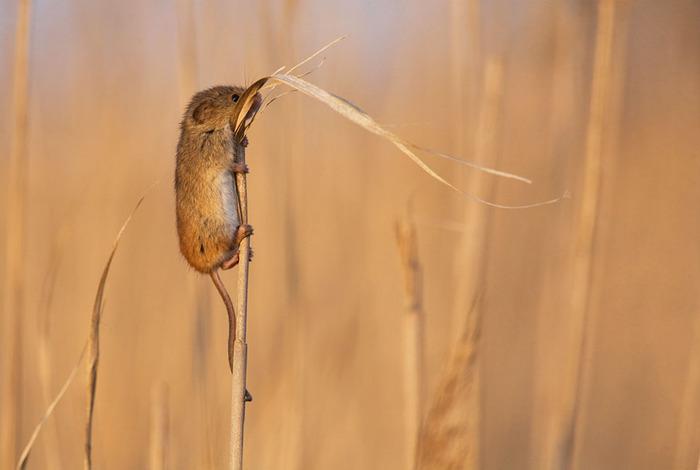 mice01